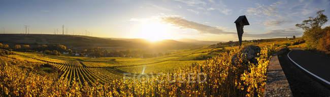 Vinha da Alemanha, estado da Renânia-Palatinado, no outono, ao pôr do sol — Fotografia de Stock