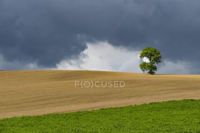 Itália, Toscana, Val d 'Orcia, único carvalho numa colina — Fotografia de Stock