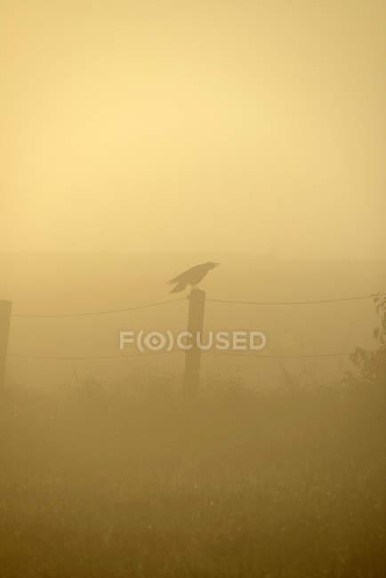 Ворон, сидячи на паркані в ранковий туман — стокове фото