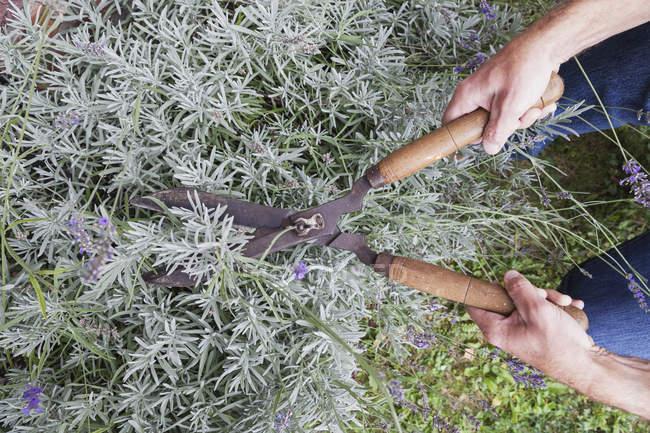 Man pruning lavender in garden — Stock Photo
