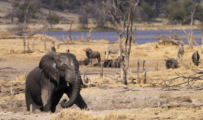 Botswana, Young elephant bull ascending from river's edge — Stock Photo