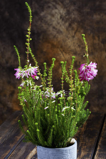 Vue rapprochée de Erica verticillata plante à fleurs en pot de fleurs — Photo de stock