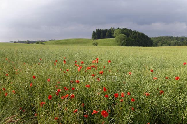 Coquelicots et l'herbe verte — Photo de stock