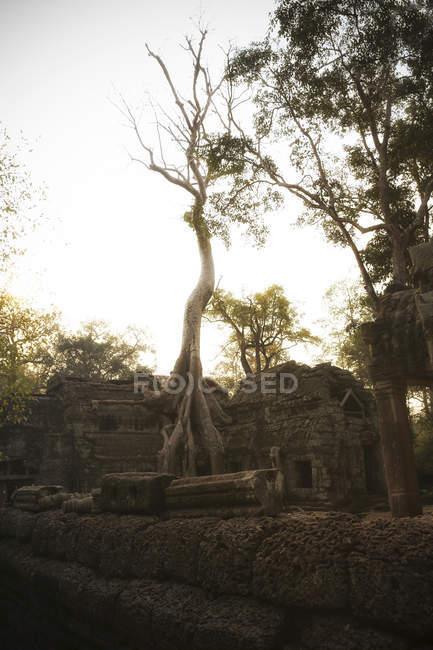 Camboya, Angkor, templo Ta Prohm, ubicación de la película Tomb Raider - foto de stock