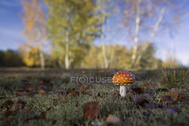 Мухомор грибов, растущих на лугу — стоковое фото