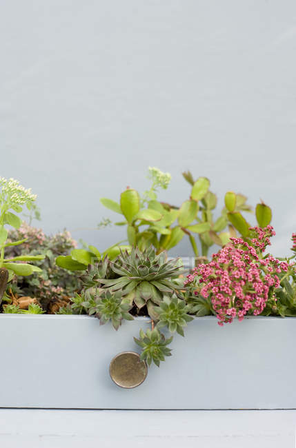 Succulents, cacti and phedimus planted in a drawer — Stock Photo