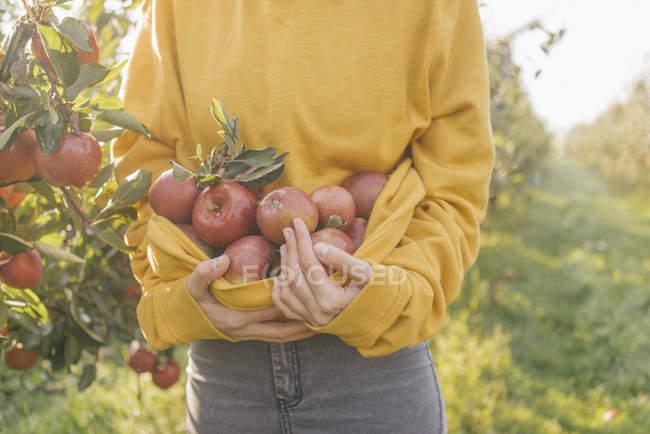 Обрезанный образ женщины, собирающей яблоки в саду — стоковое фото