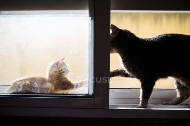 Рыжий котенок и кот играют в окно — стоковое фото