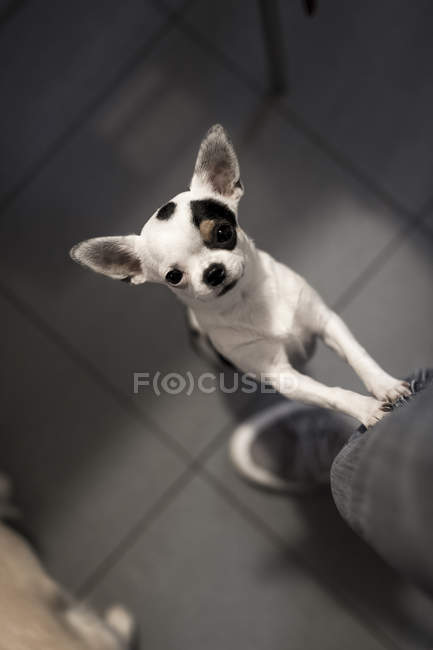 Cute chihuahua standing on back paws at home — Stock Photo