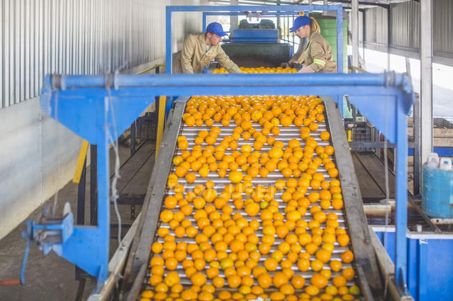 Workers on orange farm picking oranges from conveyor belt — Stock Photo