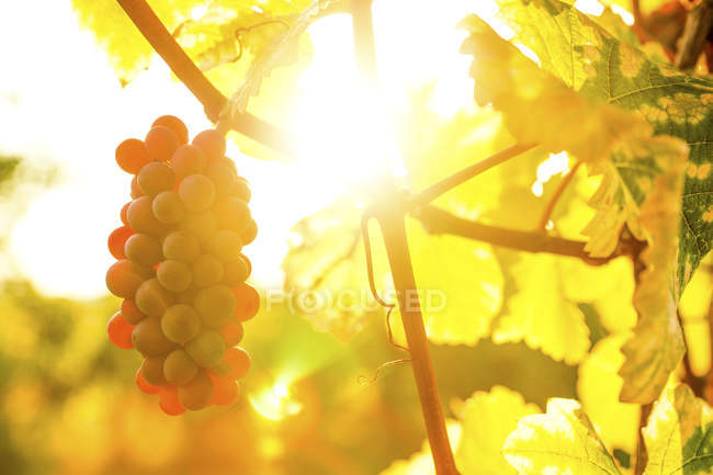 Close-up of ripe grapevine growing on plant in backlit — Stock Photo