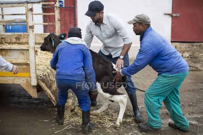 Чоловіки завантаження теля на причепі на фермі — стокове фото