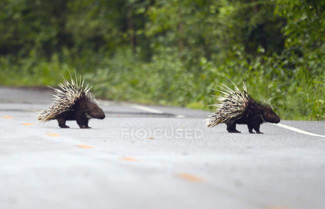 Thailandia, provincia di Petchaburi, due istrici malesi attraversano la strada — Foto stock