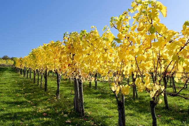 Daytime view of vine plantation with yellow leaves — Stock Photo