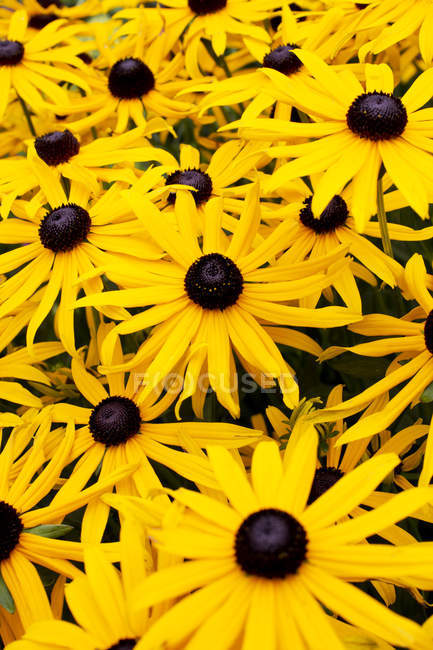 Yellow coneflower  growing outdoors during daytime — Stock Photo