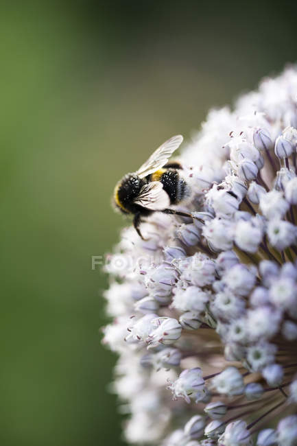 Bumblebee on garlic blossom — Stock Photo