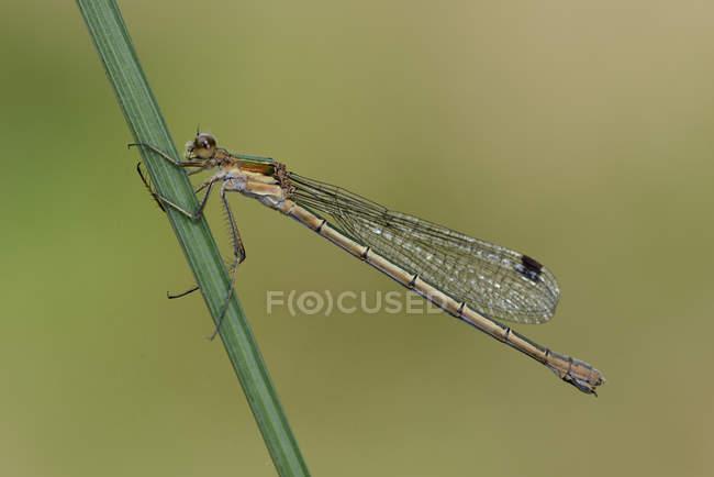 Damselfly smeraldo femminile — Foto stock