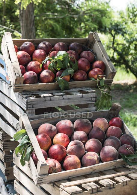 Frisch gepflückte Pfirsiche — Stockfoto