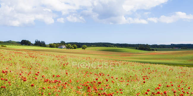 View of Poppy field, Moen, Denmark — Stock Photo