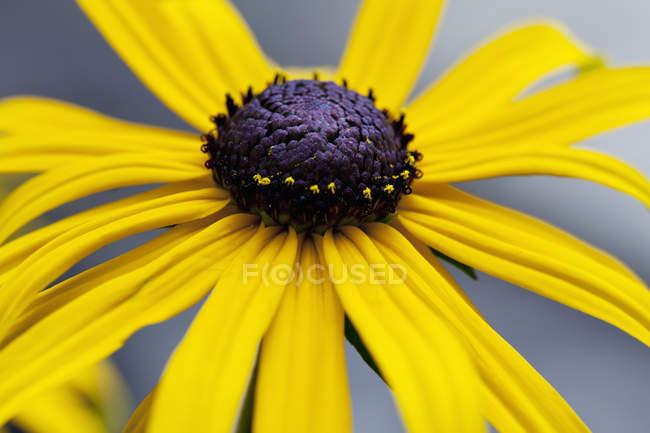 Blüte des mehrjährigen Sonnenhuts — Stockfoto