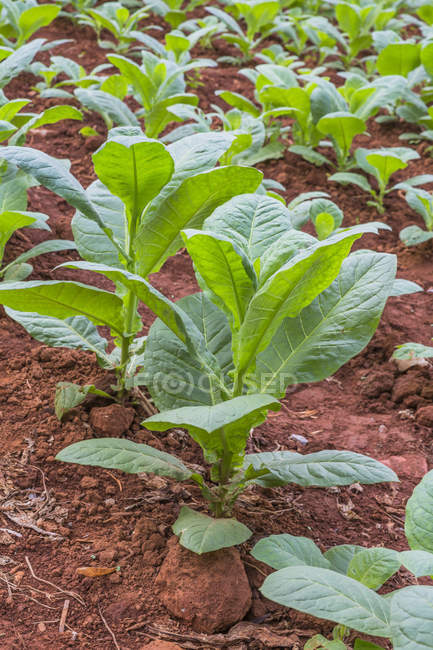 Поле заводы табака — стоковое фото