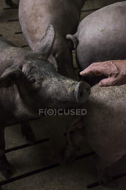 Salamanca, Spagna, mano del coltivatore di maiale accarezzando il naso di un maiale iberico in una farm di fabbrica — Foto stock