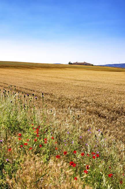 Campo de cebada, Andalucía - foto de stock