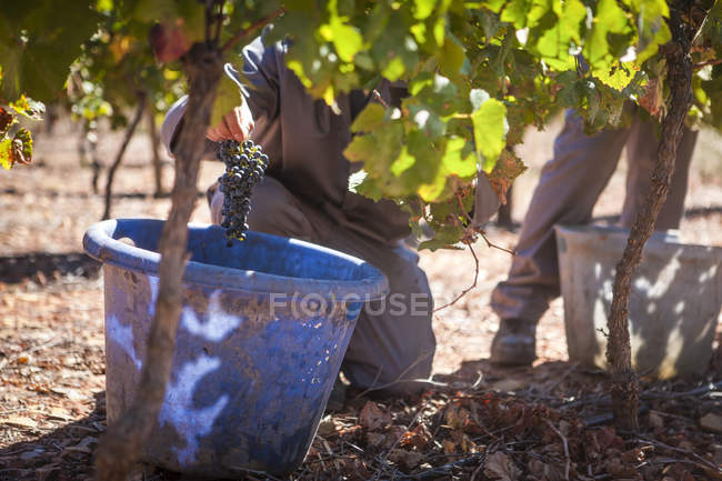 Людина збирання червоного винограду на винограднику — стокове фото