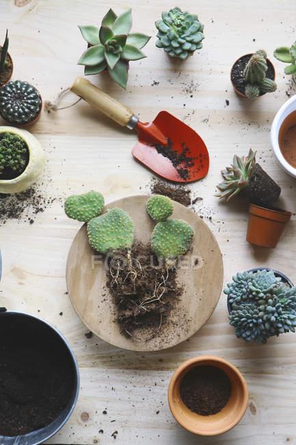 Transplant cacti , opuntia microdasys, on woode — Stock Photo