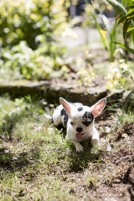 Chihuahua, couché dans le jardin — Photo de stock