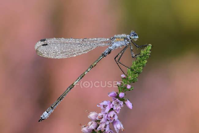 Смарагдовий Англії Рівнокрилі бабки (Lestes sponsa) — стокове фото