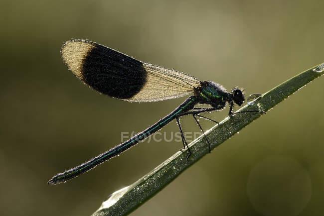 Maschio demoiselle fasciato — Foto stock