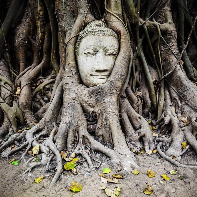 Head of sandstone Buddha between tree roots — Stock Photo