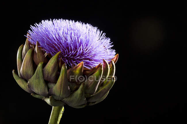 Artichoke flower blossom — Stock Photo