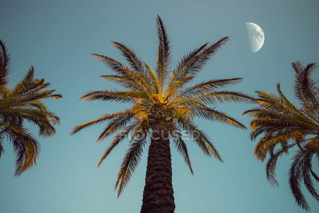 Three palm trees in the evening with moon in the background — Stock Photo