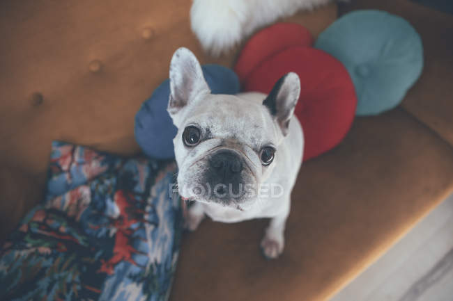 Portrait of French bulldog sitting on couch looking up — Stock Photo