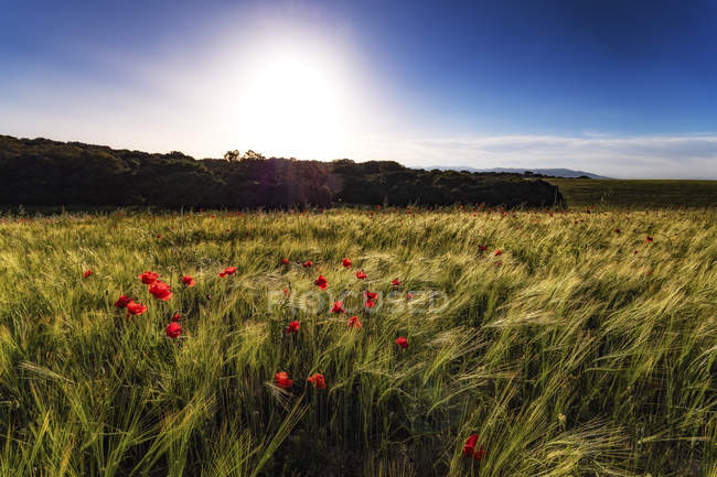 Gerste bei Sonnenuntergang mit Mohn — Stockfoto