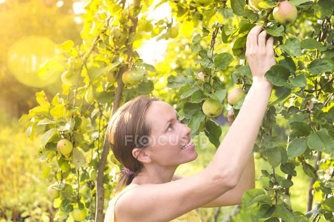 Mujer cosechando manzanas en el jardín - foto de stock