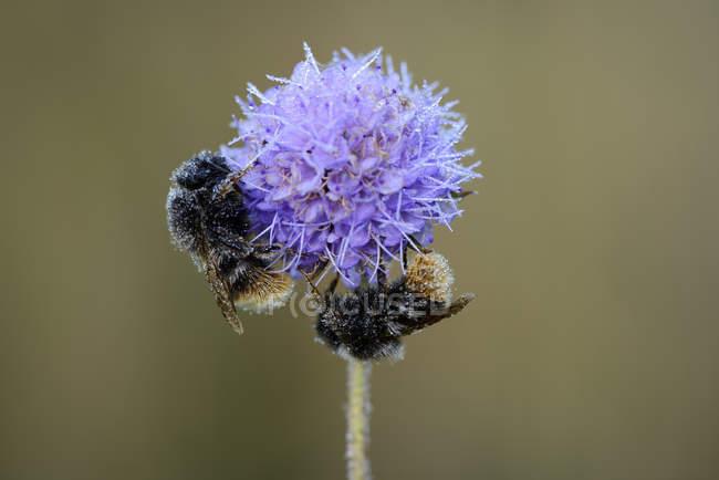 Abejorro (bombus sp.) Inglaterra - foto de stock