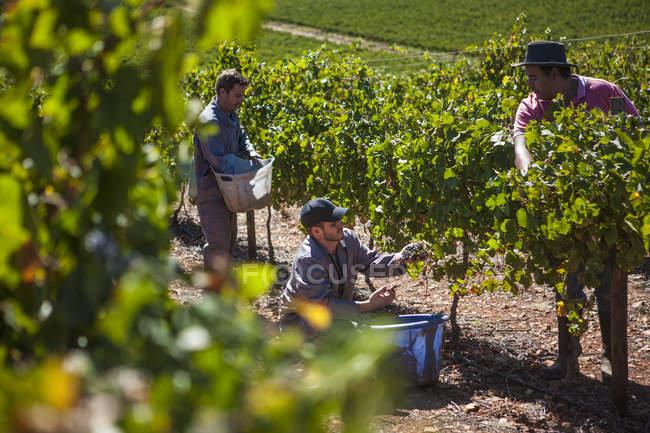Группа мужчин на уборке винограда в винограднике — стоковое фото