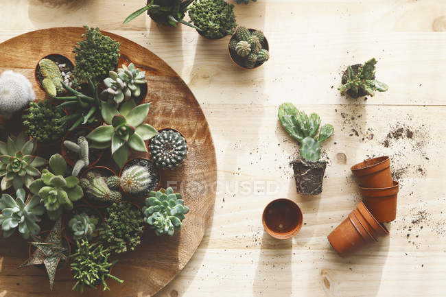 Succulents on wooden table — Stock Photo