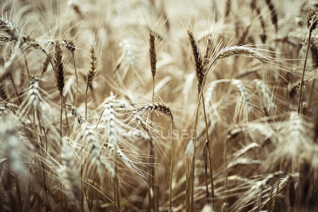 Spikes of barley field — Stock Photo