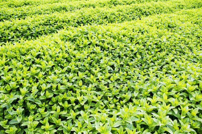 Ряды зеленая трава — стоковое фото