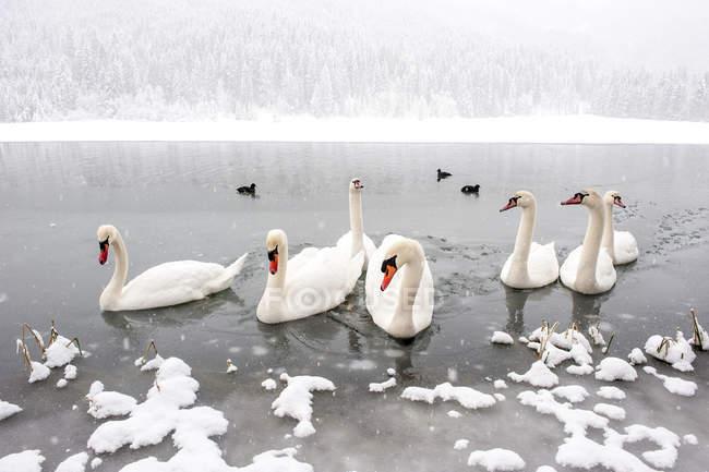 Австрія, напрямку Kleinarl, Група лебедів mute на Jaegersee у зимовий період — стокове фото