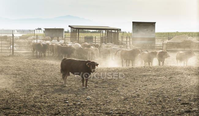 Mandria di tori in una fattoria di giorno — Foto stock