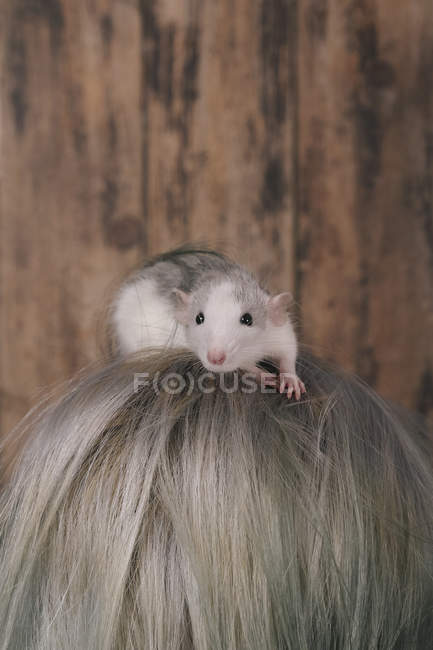 Pet rat on a female head, wooden background — Stock Photo
