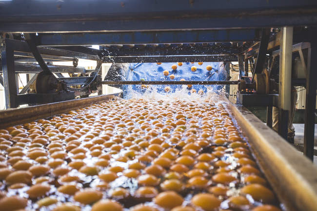 Oranges getting washed after harvest — Stock Photo