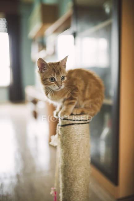 Рыжий котенок сидит на кошачьей игрушке дома — стоковое фото