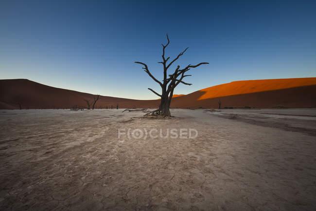 Namibia, Namib Naukluft, Dead Vlei, spine morto cammelli davanti a Duna del deserto — Foto stock