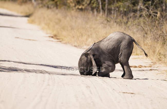 Симбирск, национальный парк Хвабге, слоненок-детеныш, играющий в песке — стоковое фото